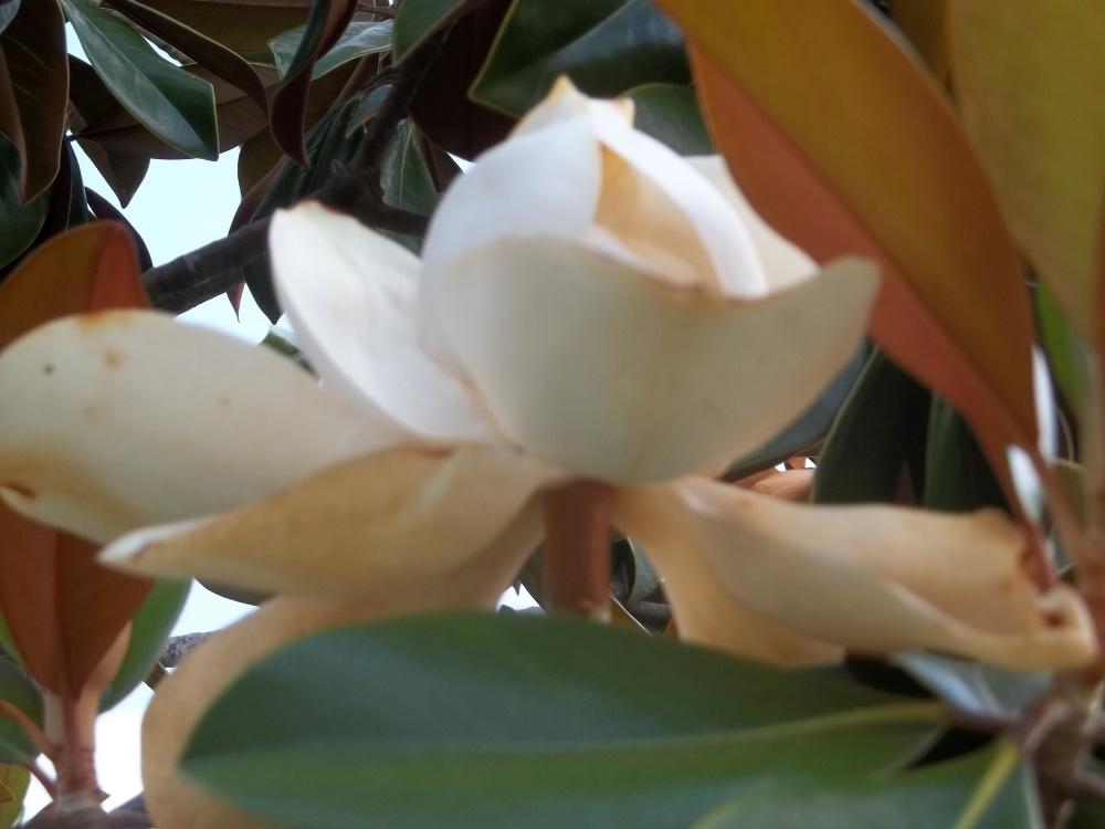 Magnolia (2/3)