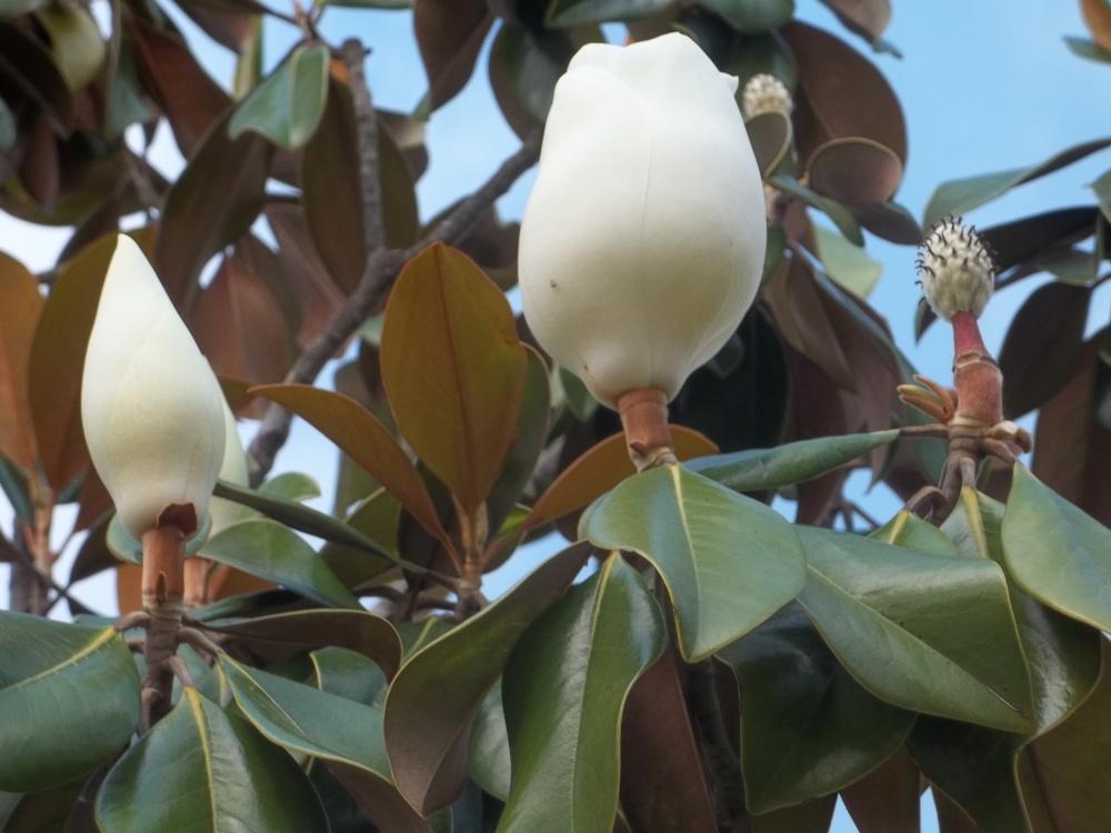 Magnolia (1/3)