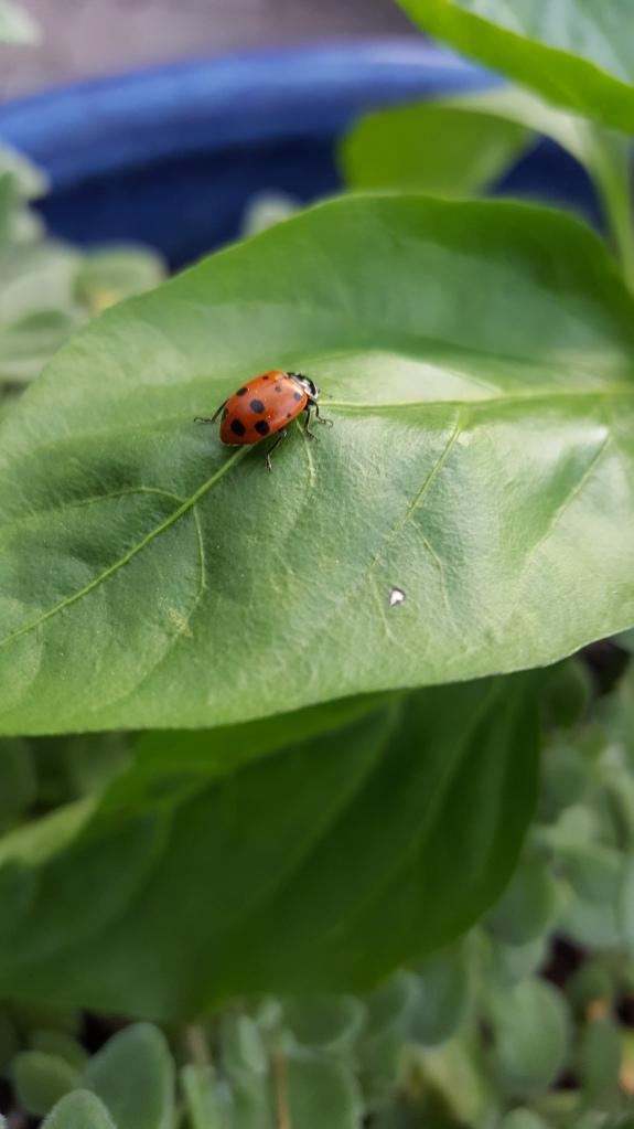 Leafandladybug