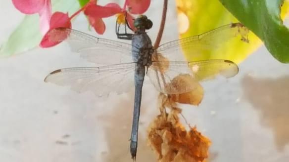 dragonflyfree