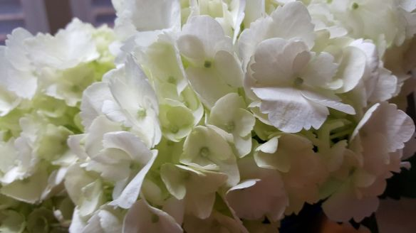whitehydrangea