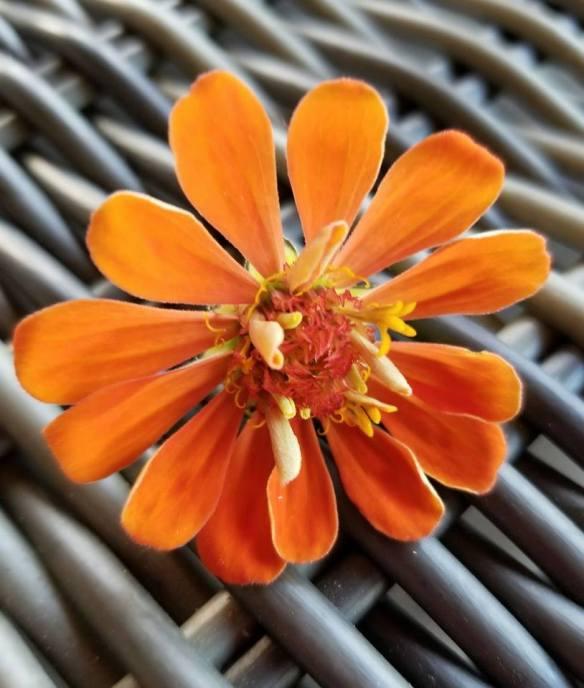 OrangeZinnia
